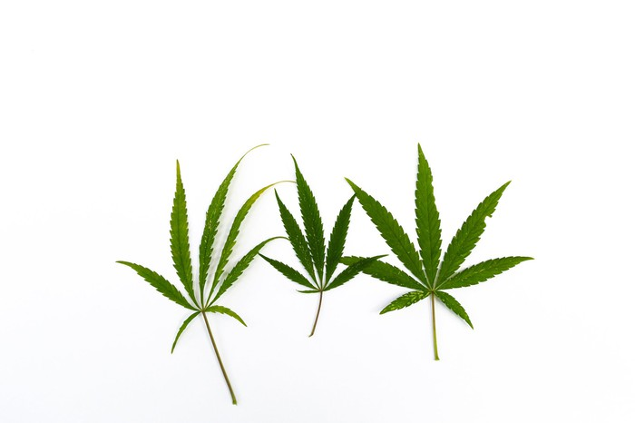 Three cannabis leaves