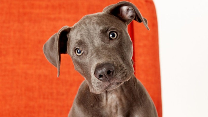 A labrador dog against an orange background