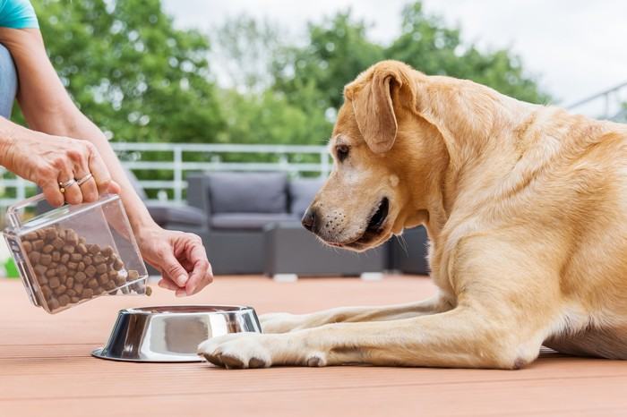 A yellow lab being fed dog food in a silver bowl.