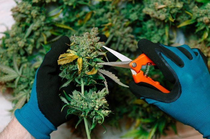 A gloved processor trimming a cannabis flower with scissors.