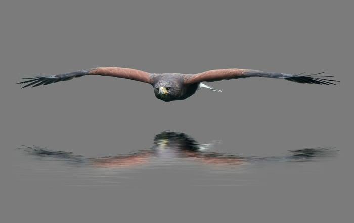 A hawk flying low
