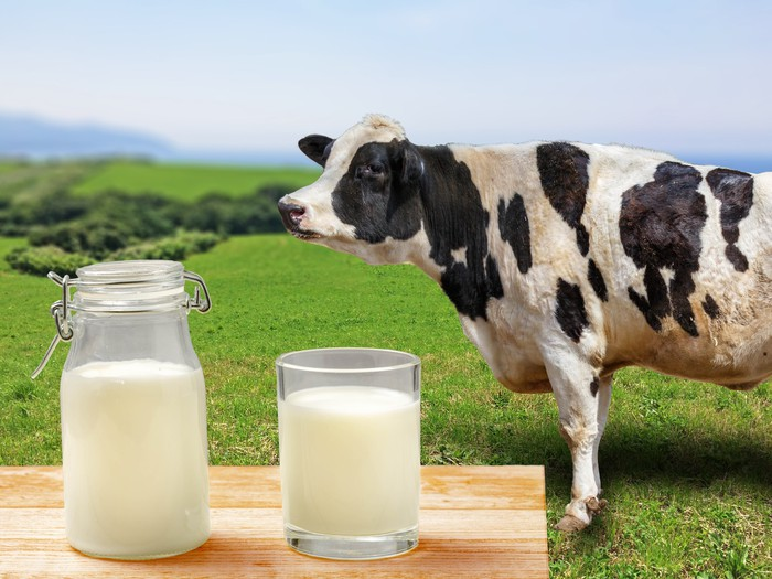 Cow standing next to table with a jar of milk and a glass of milk