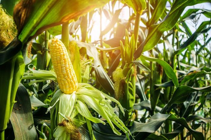 Ripe ear of corn in a cornfield