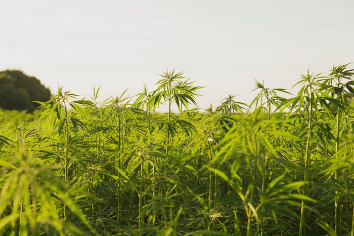 Hemp plants growing in field