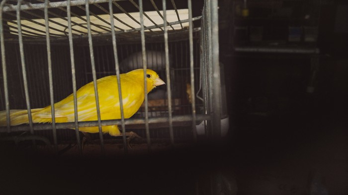 Canary in a cage