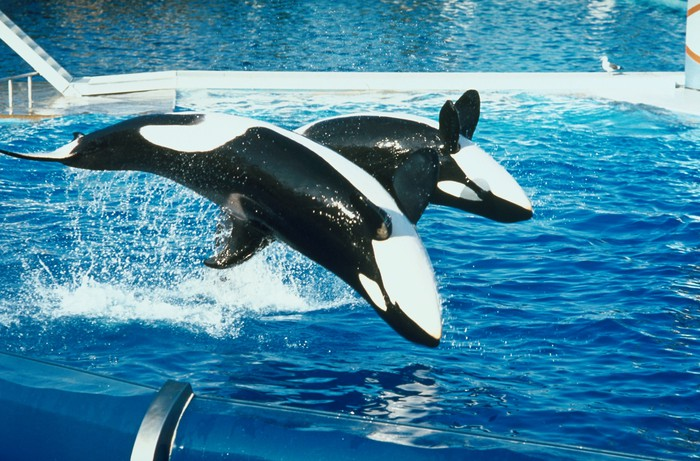 Performing orcas.