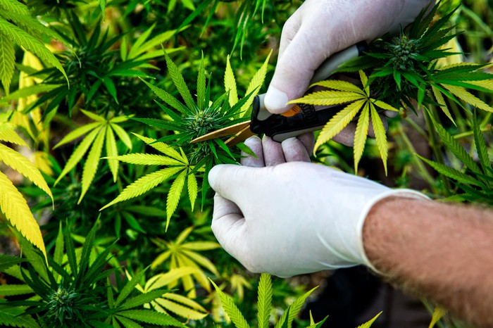 Two gloved hands trimming marijuana plants