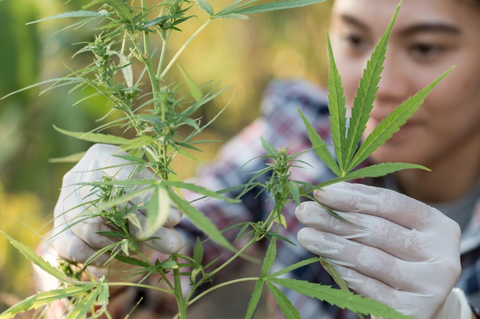 Worker in a hemp field wearing white gloves and checking a plant.