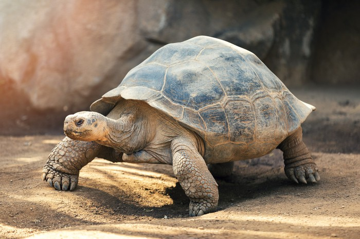 A Galapagos tortoise outside