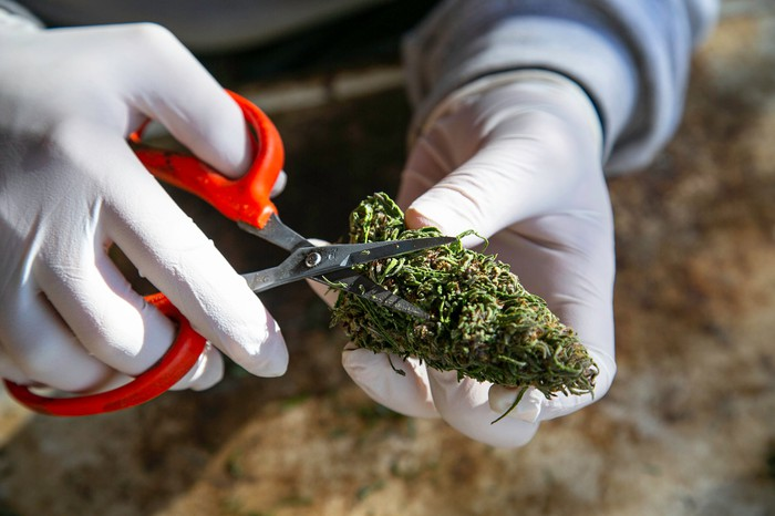 closeup of hands clipping a cannabis bud with scissors.