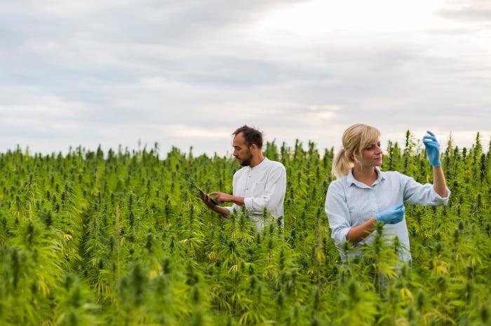 Two people observing plants in marijuana field.
