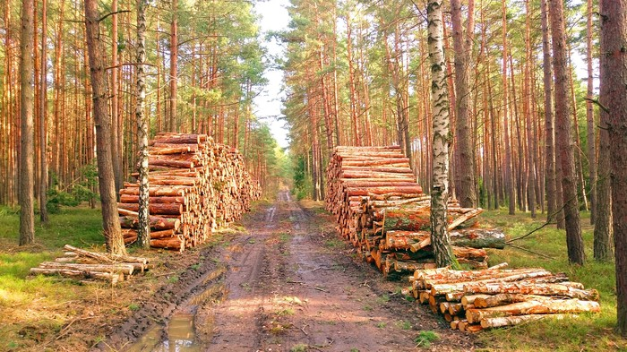 Timber stacked by side of a forest dirt road.