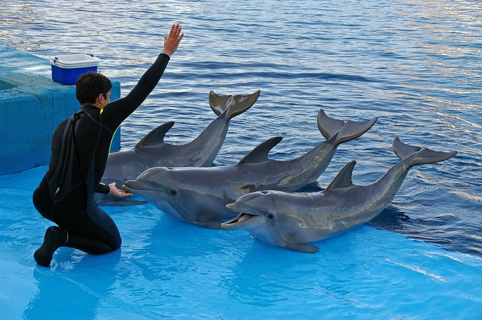 A trainer works with three dolphins during a demonstration.