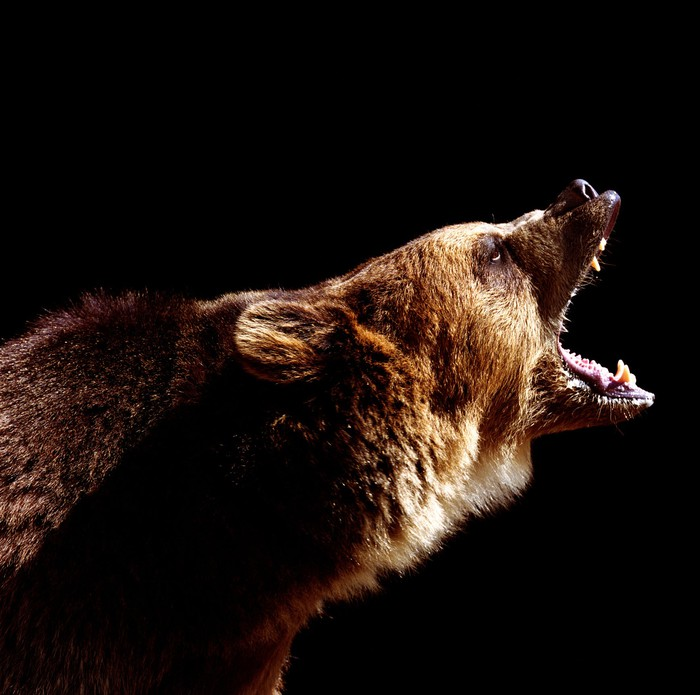A grizzly bear is growling against a black background.