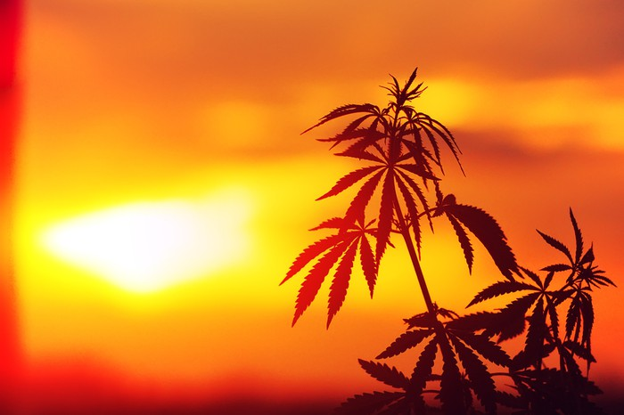Marijuana plant in the sunset.