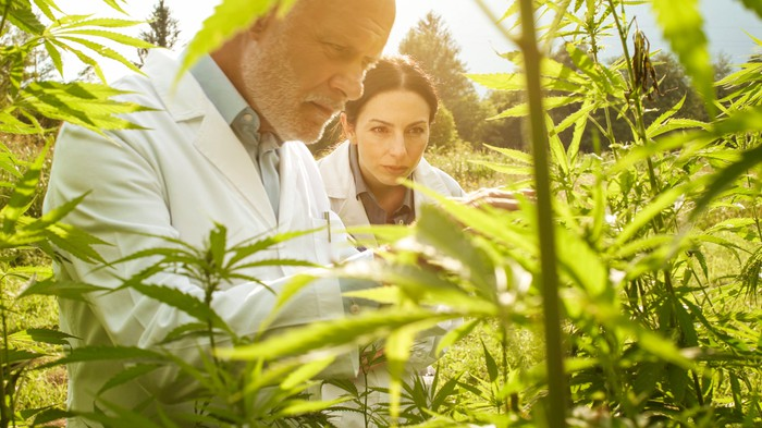 Researchers checking for plants in a hemp field.
