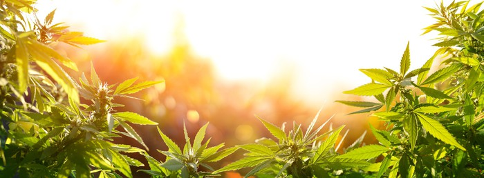 Cannabis plants in a field