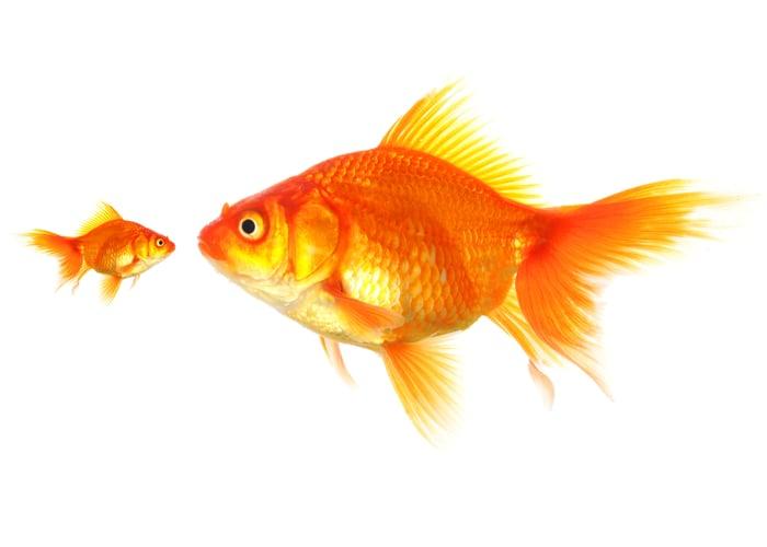 Large goldfish staring at a small goldfish.