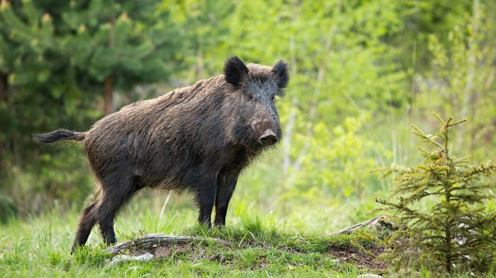 A European wild boar.