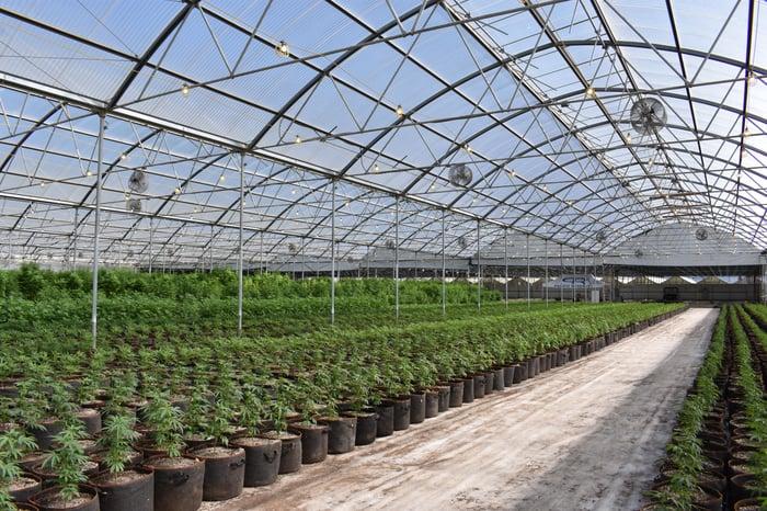 CBD Oil Pot plants in a greenhouse.