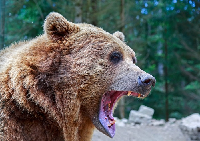 Close-up of bear with open mouth.