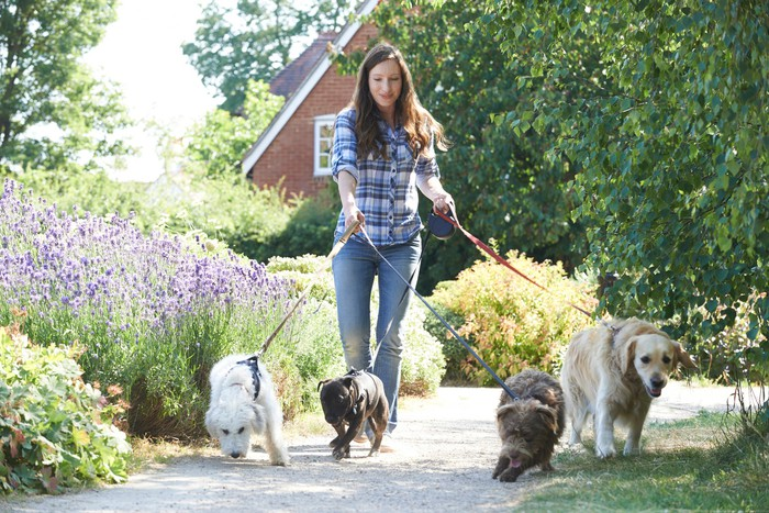 a woman walking four dogs of various sizes on a crushed gravel trail with the brick side of a house in the background.