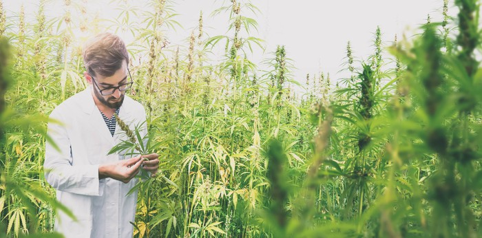 male scientist in a medical cannabis field
