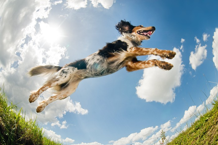A dog leaping.