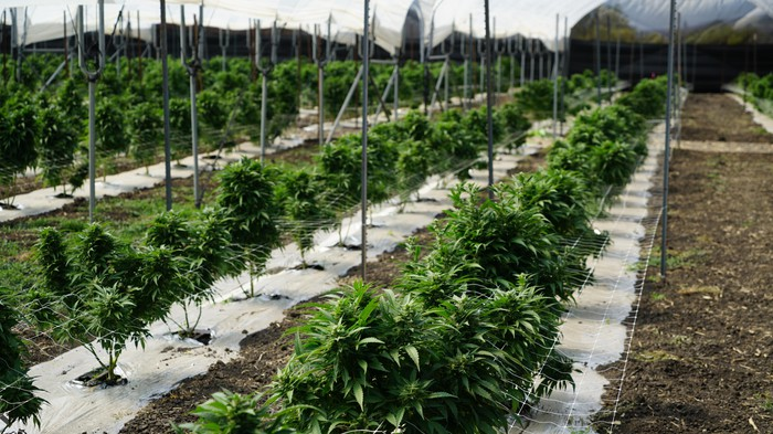 Expanse of marijuana plants grows outdoors, each plant propped up by a stake atop special growing materials