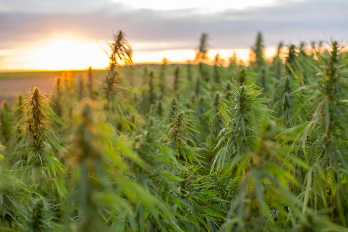 A field of cannabis plants sits before a rising sun.