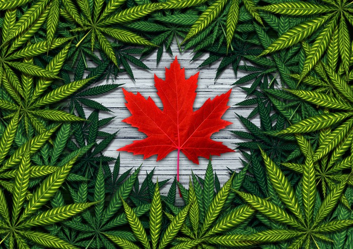 red maple leaf surrounded by cannabis leaves.
