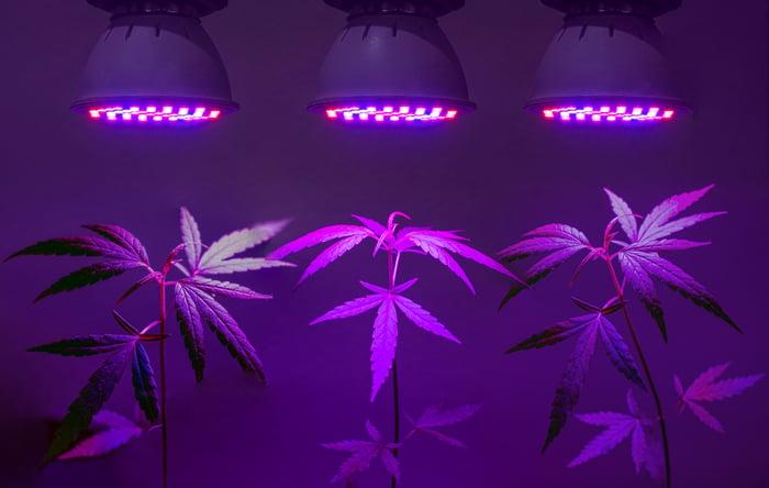 Marijuana plant growing under purple lighting.