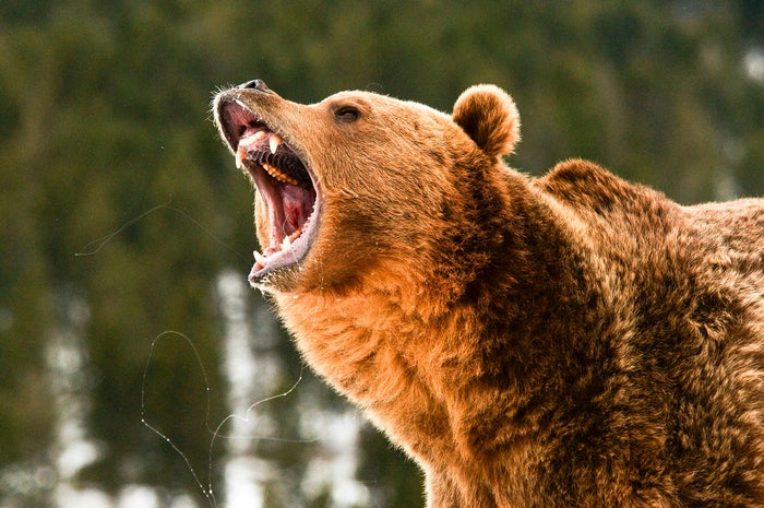 Angry-looking grizzly bear in a pine forest with snow.