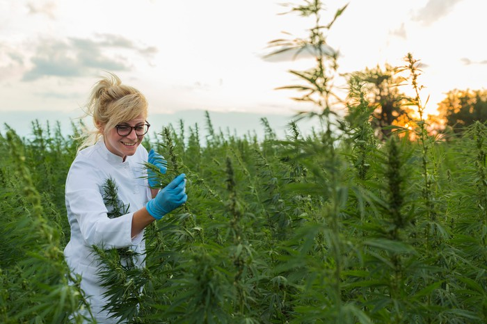 A female grower  in a white suit inspects outdoor cannabis plants.