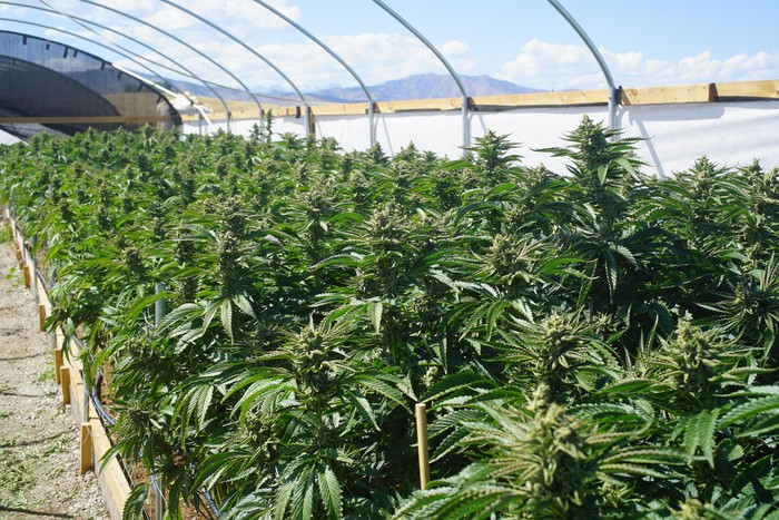 Bright outdoor greenhouse full of marijuana plants.