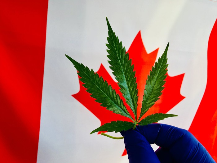 Gloved hand holding marijuana leaf in front of Canadian flag.
