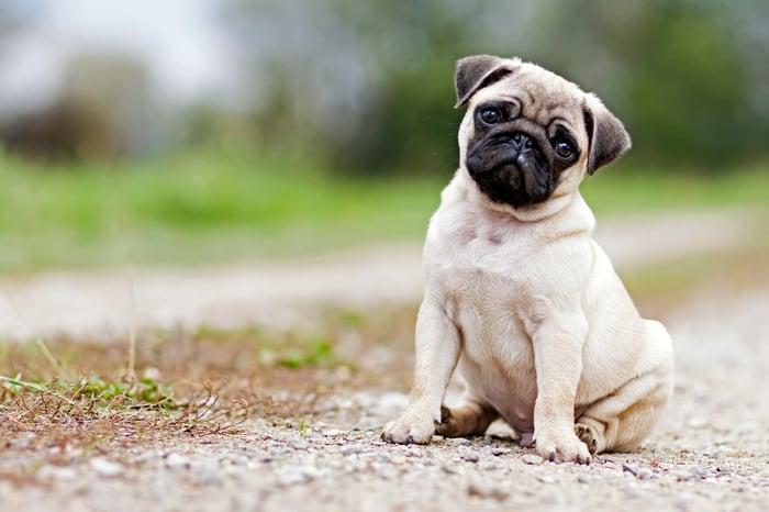 A pug.