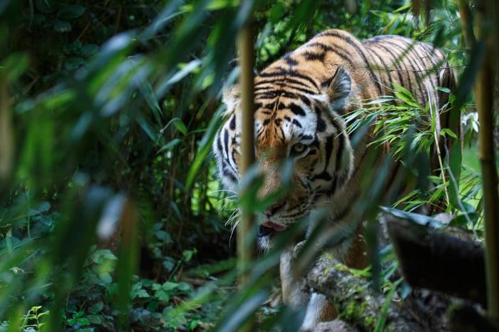 Tiger in a jungle