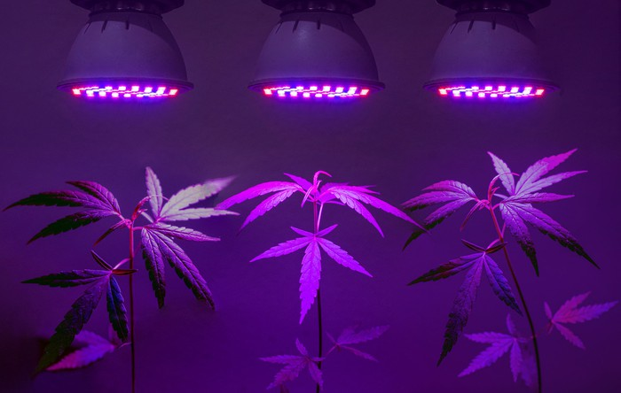 Three cannabis plants being cultivated under grow lights.