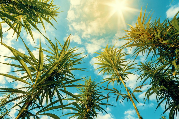 Cannabis plants viewed from below looking up to the sky.