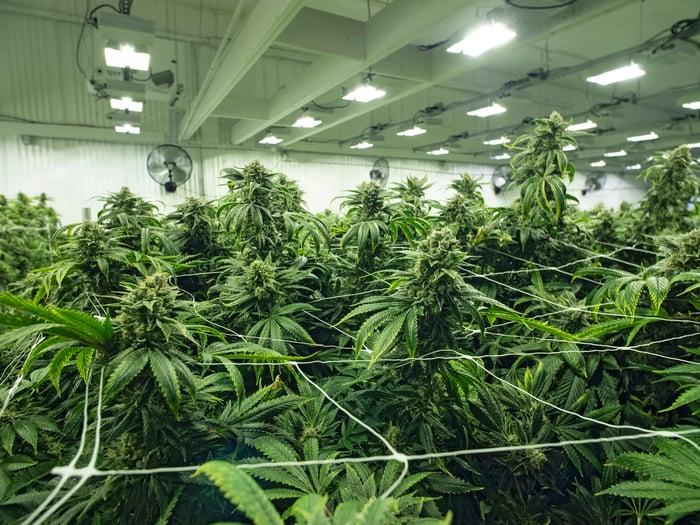 A commercial indoor cannabis grow farm.
