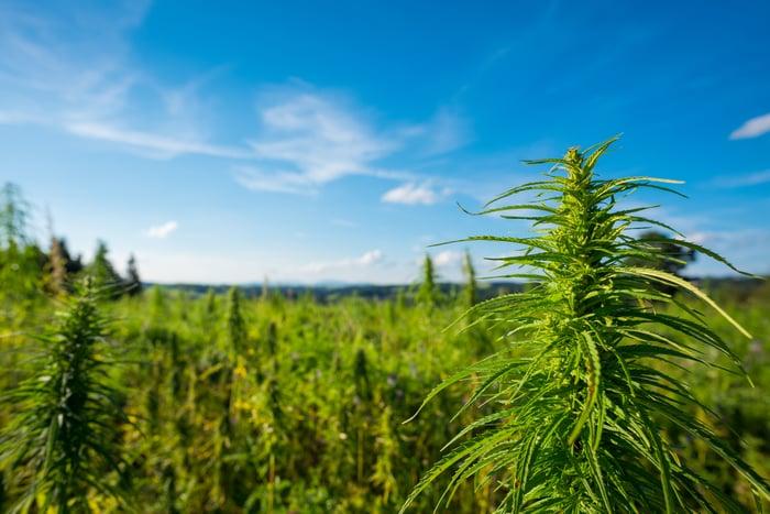 Landscape of a cannabis farm field.