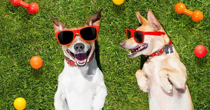 Two dogs with smiles and sunglasses on a green grass lawn with toys nearby.