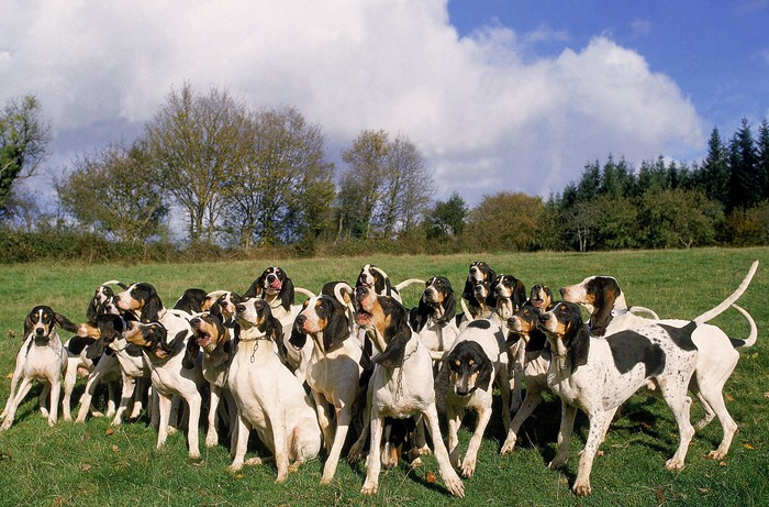 A pack of hunting dogs in a field ringed by trees.