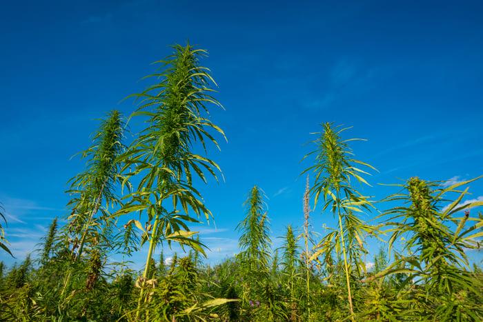 Landscape of a cannabis farm.