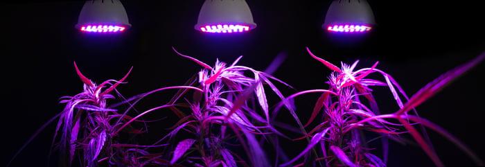Marijuana plants growing under purple LED lights.