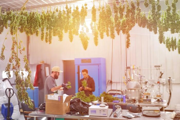 marijuana hanging in a greenhouse drying