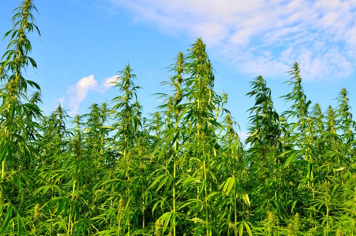 Landscape of a marijuana growth field.