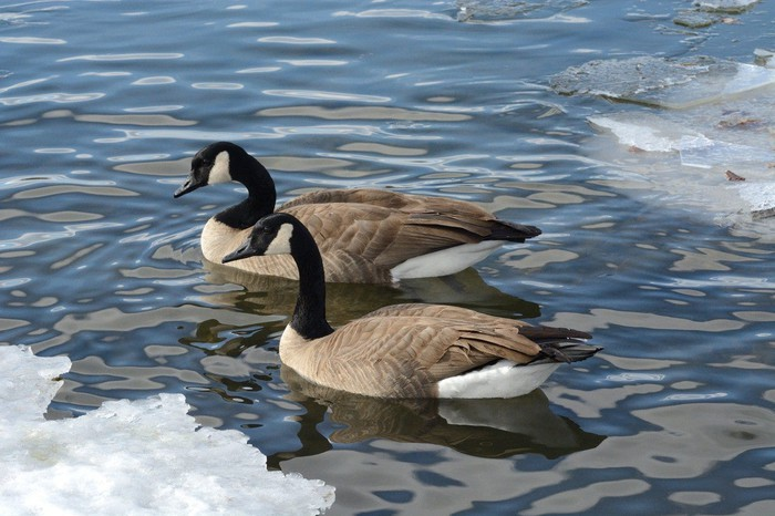 Two geese in a partially frozen pond.