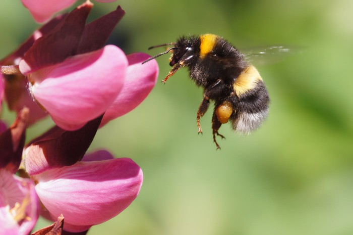 Bumble Bee flying towards pink flower.